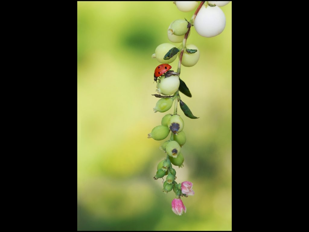 Ladybird on Berries, by Angela Carr