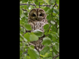 Tawny Owl in Tree, by Angela Carr